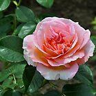 Beautiful Rose from Fuller Gardens by RoyceRocks