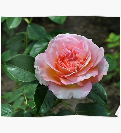 Beautiful Rose from Fuller Gardens Poster