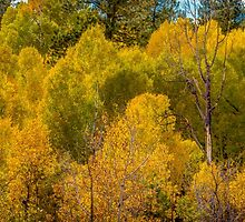 October Aspens by vivsworld