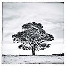 Lone tree by Paul Foley