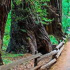 Muir Woods by Radek Hofman