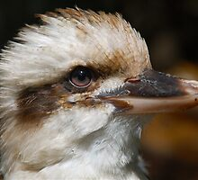 Baby Kookaburra by peasticks