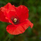 Papaver rhoeas flower by Evelyn Laeschke