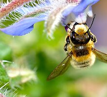 Bee on a Borage Flower 2 by MARTISTIC