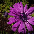 Pale Purple Anemone at Tesselaar Victoria Australia 20160923 7534 by Fred Mitchell
