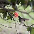 Brown Honey Eater  by Margaret Stanton