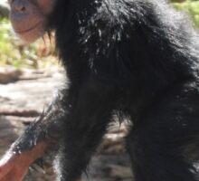 Baby Chimpanzee Sticker