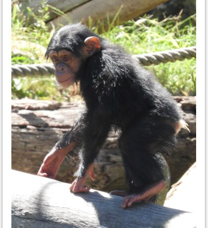 Baby Chimpanzee Sticker