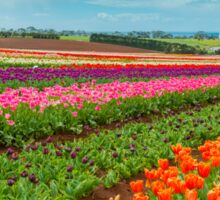Tasmania Tulips Sticker