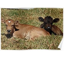 Two Calves in a Pasture Poster