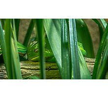 The Sleepy Green Tree Frog Photographic Print