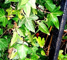 Ivy Leaves and Railing by Kyleacharisse