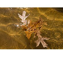Honey Colored Sun Flares - Oak Leaves Floating in a Fountain Photographic Print