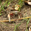 Shem Creek Crabs by imagetj