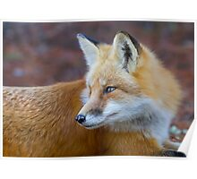 Red fox (Vulpes vulpes) in Algonquin Park Poster