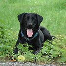 Loki - Swiss Black Labrador by Jay Taylor