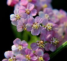 Wild Pink Yarrow by Kathleen Daley