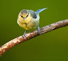 Young Blue Tit. by Terry O Keeffe