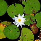 Fragrant Water Lily by Kathleen Daley