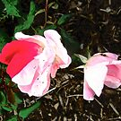 Pink Rose with One Red Petal by Shulie1
