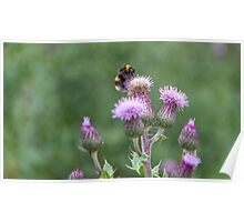 Thistle Bumblebee  Poster