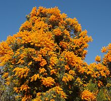 Nuytsia in Orange by kalaryder