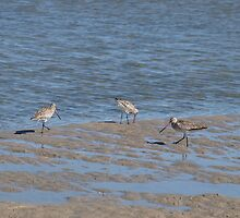 Sandpipers by kalaryder