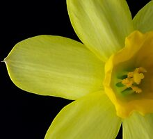Daffodil Flower by Cory Lievers