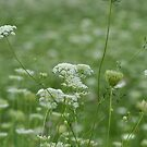 Sea of Queen Anne's Lace by Ben Waggoner