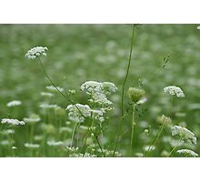 Sea of Queen Anne's Lace Photographic Print