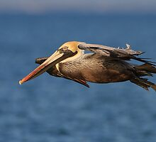Pelican Glide by William C. Gladish