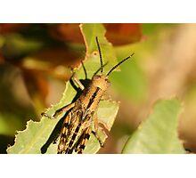 Grasshopper resting on a leaf Photographic Print