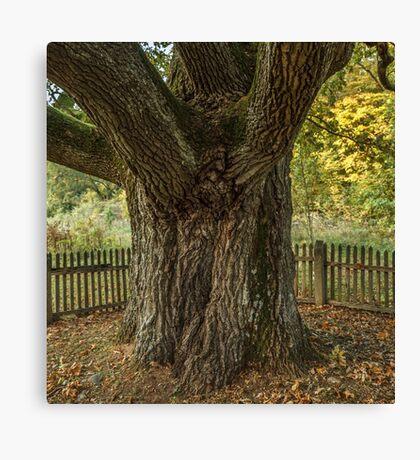 Thick oak trunk Canvas Print