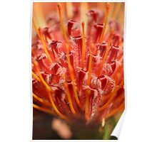 Flaming Protea Poster