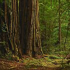 Ancient Redwoods by Barbara  Brown