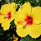Sunny Yellow Hibiscus by Sharon Woerner