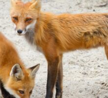 Red fox family Sticker