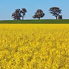 Golden Canola. by Jeanette Varcoe.