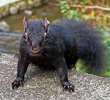 Black Squirrel by AnnDixon