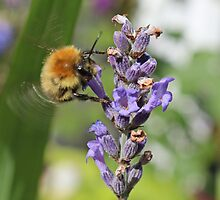 Flying Bumble Bee by AnnDixon