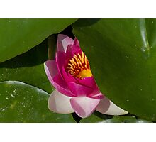 waterlily in the lake Photographic Print