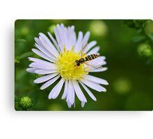 Hoverfly On Daisy Canvas Print