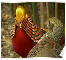 Golden Pheasants Poster