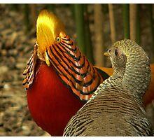 Golden Pheasants Photographic Print