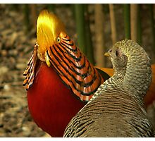 Golden Pheasants Photographic Print
