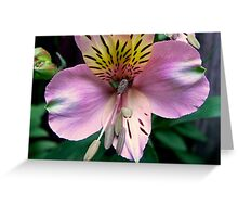 Alstroemeria or Peruvian Lily II Greeting Card