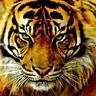 Sumatran Tiger III by Tom Newman