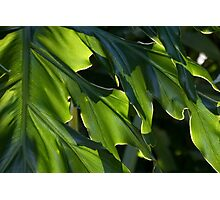 Filtered Sunlight (Philodendron selloum) Photographic Print