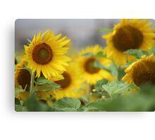 Field SunFlowers Canvas Print