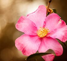 Pretty in Pink Home run Rose by Silken Photography